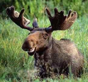 Stupid, Stupid Moose....